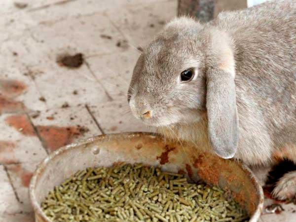 Кролик ест гранулированное сено
